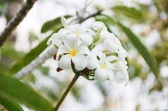 Manojo de Plumeria Fotografía de archivo