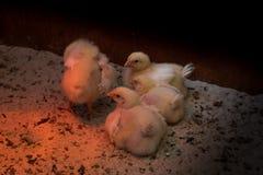 Manojo de polluelos muy jovenes soñolientos imagen de archivo