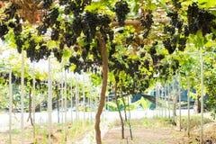 manojo de pomelos orgánicos Foto de archivo