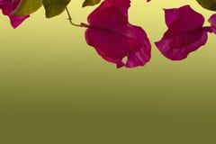 Manojo de primer rosado del baugainvillea aislado Fotografía de archivo