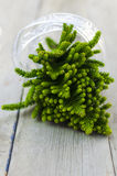 Manojo de ramas de la araucaria con la cinta de plata Foto de archivo libre de regalías