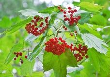 Manojo de rojo del Viburnum Fotografía de archivo libre de regalías