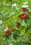 Manojo de rojo del Viburnum Imágenes de archivo libres de regalías