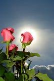 Manojo de rosas Fotos de archivo libres de regalías