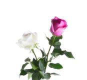 Manojo de rosas blancas y rosadas aisladas en el fondo blanco Imágenes de archivo libres de regalías
