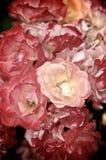 Manojo de rosas minúsculas Fotos de archivo
