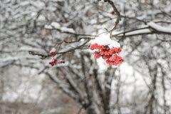 Manojo de serbal en una rama cubierta con nieve en un fondo de árboles nevados en invierno Fotos de archivo