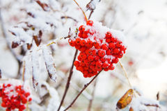 Manojo de serbal rojo Foto de archivo