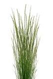 Tallos tropicales de la hierba Fotos de archivo libres de regalías