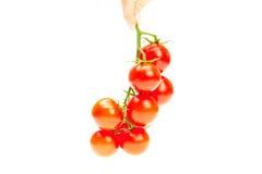 Manojo de tomate en su hombre de la mano aislado en blanco Fotos de archivo libres de regalías