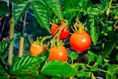 Manojo de tomates de cereza imágenes de archivo libres de regalías