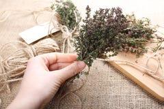 Manojo de tomillo en mano femenina Fotografía de archivo libre de regalías