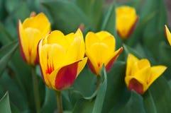 Manojo de tulipanes Imagen de archivo libre de regalías
