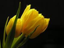 Manojo de tulipanes amarillos fotos de archivo libres de regalías