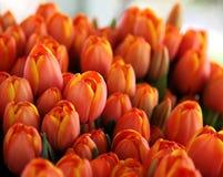 Manojo de tulipanes anaranjados y amarillos Fotos de archivo libres de regalías