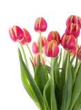 Manojo de tulipanes rojos en un fondo blanco Imagen de archivo libre de regalías