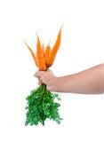 Manojo de una zanahoria fresca joven Imágenes de archivo libres de regalías