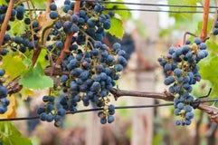 Manojo de uva de vino rojo Cabernet Sauvignon fotos de archivo