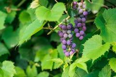 Manojo de uva en la plantación Fotos de archivo libres de regalías