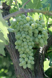 Manojo de uva madura Fotos de archivo