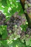 Manojo de uva madura Foto de archivo libre de regalías