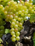 Manojo de uvas, Foto de archivo libre de regalías