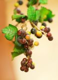 Manojo de uvas imagenes de archivo