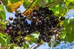 Manojo de uvas Foto de archivo libre de regalías