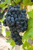 Manojo de uvas Imagen de archivo libre de regalías
