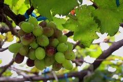 Manojo de uvas Fotos de archivo libres de regalías