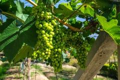 Manojo de uvas blancas Imagen de archivo libre de regalías