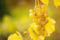 Manojo de uvas blancas en la vid Foto de archivo libre de regalías