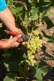 Manojo de uvas blancas en las manos con el pruner imagen de archivo