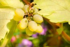 Manojo de uvas de Chardonnay Foto de archivo libre de regalías