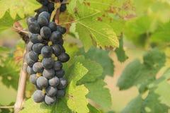 Manojo de uvas de vino Foto de archivo libre de regalías