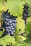 Manojo de uvas de vino Imagen de archivo