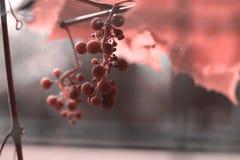 Manojo de uvas en el color del año 2019 Pantone - coral de vida fotos de archivo