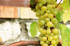 Manojo de uvas en el valle eslovaco Tokaj Fotografía de archivo libre de regalías