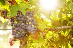 Manojo de uvas en la puesta del sol Imágenes de archivo libres de regalías