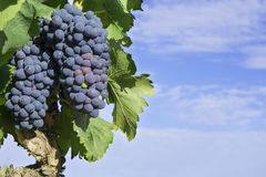 Manojo de uvas en un árbol Foto de archivo libre de regalías
