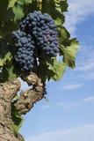 Manojo de uvas en un árbol Fotografía de archivo libre de regalías