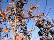Manojo de uvas en un campo en el fondo imagenes de archivo