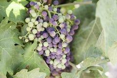Manojo de uvas en un viñedo Foto de archivo libre de regalías