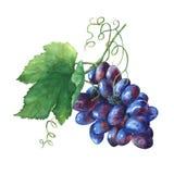 Manojo de uvas frescas negras stock de ilustración