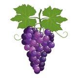 Manojo de uvas fresco púrpuras stock de ilustración