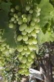 Manojo de uvas inmaduro en cenador de la vid Foto de archivo libre de regalías