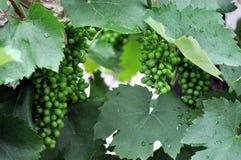 Manojo de uvas joven fresco Foto de archivo libre de regalías