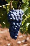 Manojo de uvas jugosas maduras Foto de archivo libre de regalías