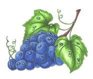 Manojo de uvas maduras aisladas en el ejemplo dibujado mano blanca ilustración del vector