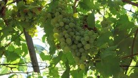 Manojo de uvas maduras en la vid y la luz del sol almacen de metraje de vídeo